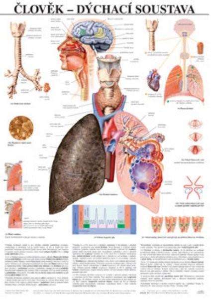 Člověk - dýchací soustava (nástěnná tabule)
