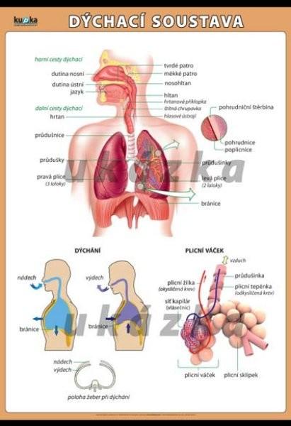 Dýchací soustava (nástěnný obraz 140x100 cm)