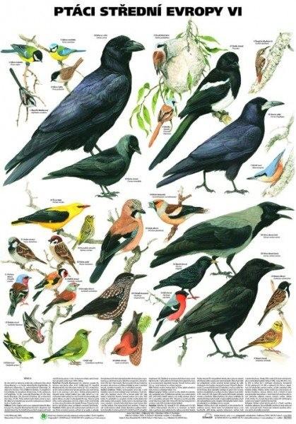 Ptáci střední Evropy VI - Pěvci 2 (nástěnná tabule)