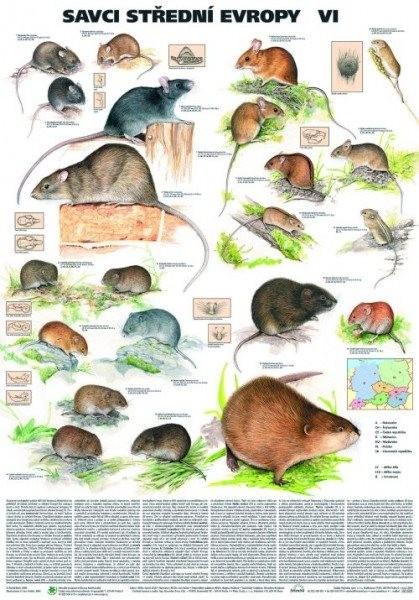 Savci střední Evropy VI. (nástěnná tabule)