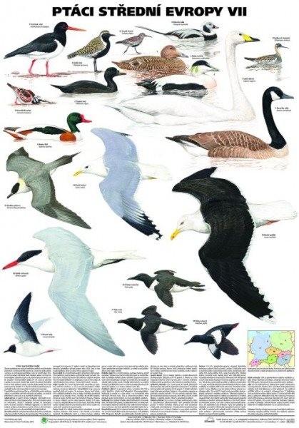 Ptáci střední Evropy VII (nástěnná tabule)